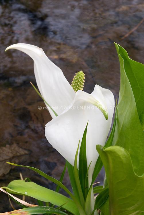 White skunk cabbage, Lysichiton camtschatcensis in bloom next to water