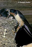 BA09-005z  Barn Swallow - parent feeding 18 day old young - Hirundo rustica