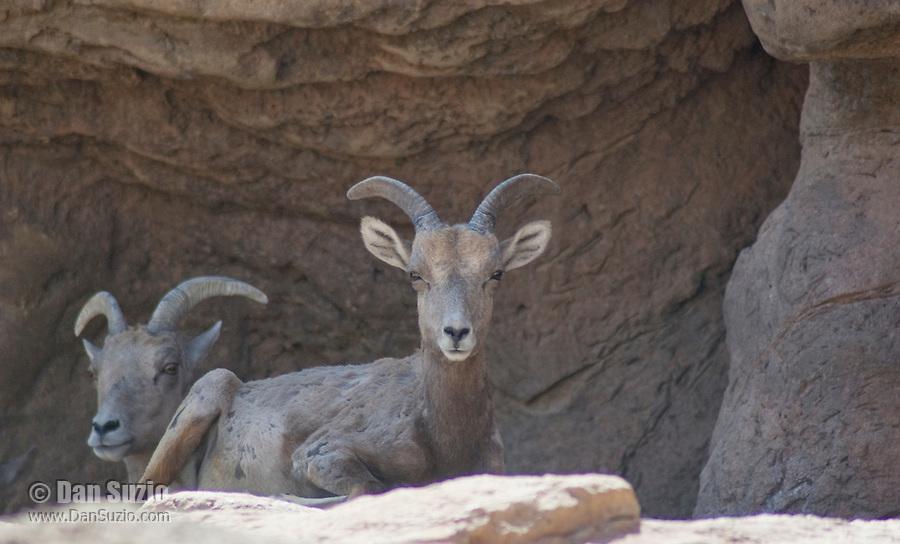 Desert bighorn sheep, Ovis canadensis nelsoni. Arizona-Sonora Desert Museum, Tucson, Arizona
