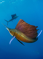 Atlantic sailfish, Istiophorus albicans, Isla Mujeres, Mexico, Gulf of Mexico, Caribbean Sea, Atlantic Ocean