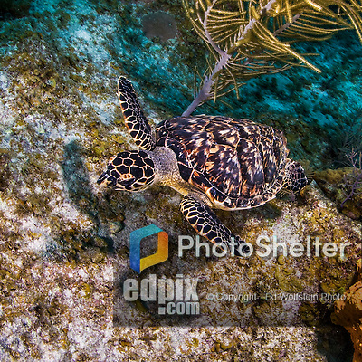 8 June 2015:: A young Hawksbill sea turtle (Eretmochelys imbricata) hovers over the reef to find food at Ocean Point Reef, on the North Shore of Grand Cayman Island. Located in the British West Indies in the Caribbean, the Cayman Islands are renowned for excellent scuba diving, snorkeling, beaches and banking.  Mandatory Credit: Ed Wolfstein Photo *** RAW (NEF) Image File Available ***