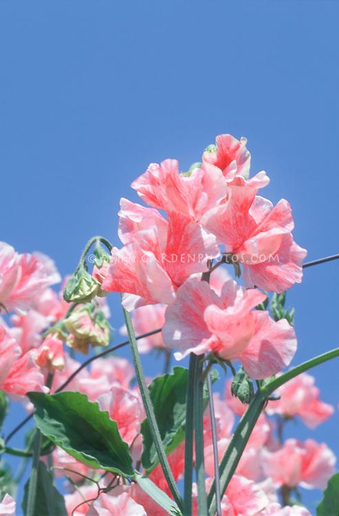 Lathyrus odoratus 'Rosy Dawn' pink sweetpeas against blue sky in bloom, fragrant scented annual vine
