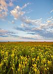 Blue Mound State Park, Minnesota: Field of goldenrod (Solidago speciosa) under a summer sky