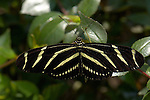 Zebra Longwing, Heliconius charithonia, Southern California