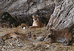 Two mountain lion cubs play with an elk hide while their mother watches.