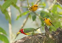Male red-headed barbet, Eubucco bourcierii, and two golden tanagers, Tangara arthus goodsoni. Tandayapa Valley, Ecuador