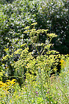 Wild Parsnip, Pastinava sativa, parsley family