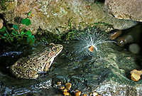 Northern Leopard frog, Rana frog, sitting in water stream gazing at milkweed seed