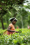20 August 2013, Silchar, Assam, INDIA : Women tea pickers at work picking leaves on Craig Park Tea Estate outside Silchan in Assam. Tea workers on tea estates in the North Eastern Indian state of Assam have been hit hard by a combination of events in the industry. A downturn in the price of tea has had many estate owners not fulfilling their obligations on pay and conditions for the lowly paid pickers and maintenance staff.  Lack of investment and crumbling infrastructure combined with a rise in the population of estate families has created a crisis. Some staff have died of starvation and disease as a result of neglect from the proprietors. Picture by Graham Crouch/The Australian