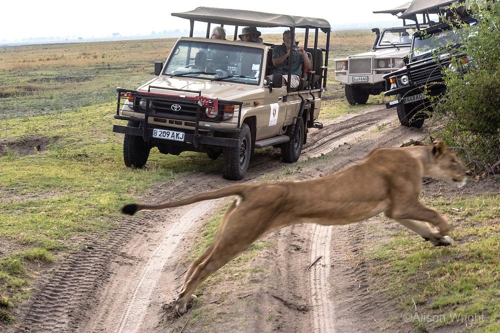Africa, Botswana, Kasane, Chobe National Park, lion jumping in front of safrai vehicles.