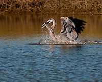 Great Blue Heron catches a catfish in a pond at the Inks Dam Fish Hatchery, Texas