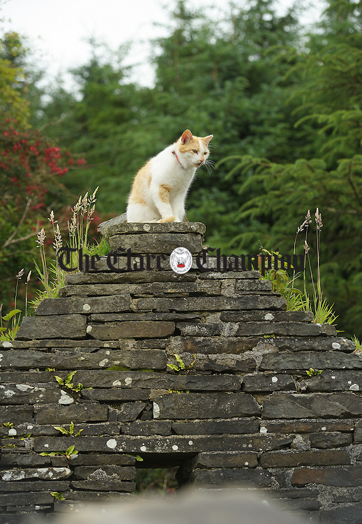 """King of the castle at the """"An Cat Dubh Sanctuary"""" at Clounlaheen, near the Hand. Photograph by John Kelly."""