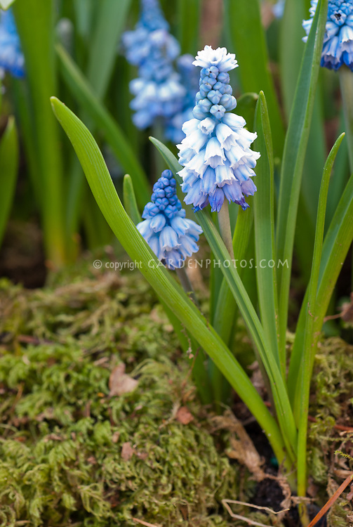Muscari azureum (AGM), spring flowering little blue flowered bulb, grape hyacinth