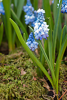 Muscari azureum (AGM), spring flowering little blue flowered bulb, grape hyacinth