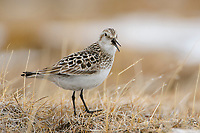 Adult male Baird's Sandpiper (Calidris bairdii) in breeding plumage vocalizing on the breeding grounds. Resolute, Nunavut, Canada. June.