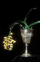 Baptistonia echinata  in loving cup Orchid Species