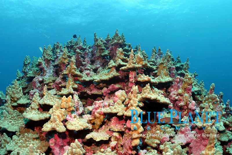 lobe coral, in unique growth pattern, Porites lambata, Lisianski, Papahanaumokuakea Marine National Monument, Northwestern Hawaiian Islands, Hawaii, USA, Pacific Ocean