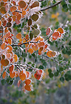 Fall-colored aspen leaves (Populus tremuloides) edge with icicles, Rocky Mtns, CO