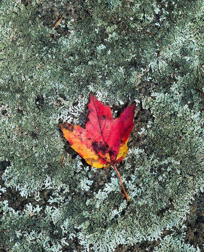 Autumn maplel leaf rests on lichen covered boulder.