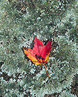 Autumn maplel leaf rests on lichen covered boulder.