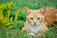 Tiger cat tabby in grass near yellow goldenrod flowers, summer, midwest, USA