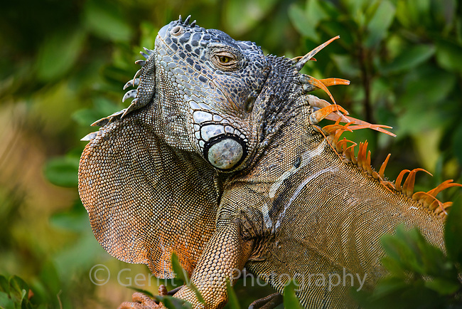 Dispalying male green iguana (Iguana iguana) sowing dewlap. Guerrero, Mexico. December.