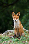 Red Fox (Vulpes vulpes), Goult,  Luberon Valley, Provence, France