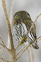Northern Pygmy Owl perched on a frosty tree