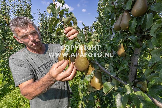 Winssen, 250821<br />Fruitteler Toine Jansen van kwekerij De Haneman met conference peren.<br />Foto: Sjef Prins - APA Foto