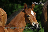 Bob, ANIMALS, REALISTISCHE TIERE, ANIMALES REALISTICOS, horses, photos+++++,GBLA3962,#a#, EVERYDAY