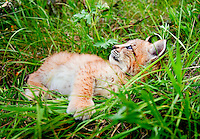Lynx kitten resting in grass