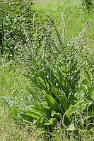 Gewöhnliche Hundszunge, Echte Hundszunge, Cynoglossum officinale, Common Hound´s Tongue, houndstongue, dog's tongue, gypsy flower