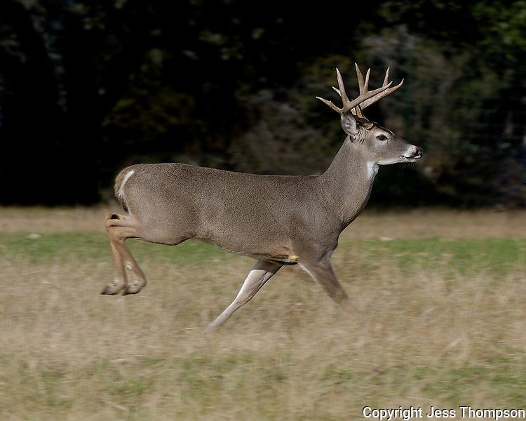 Whitetail Buck Running, Burnet, TX
