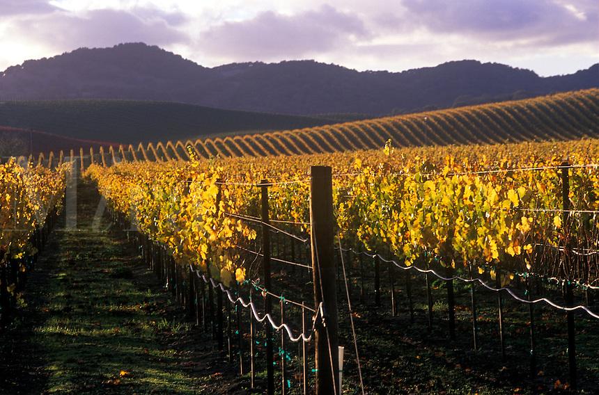 Autumn color in the vineyards. Carneros region of Napa County, California.