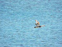 Female Mallard in flight over Big Lake Alberta.