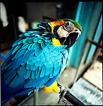 August 2000. Jakarta, Indonesia. A wild parrot from indonesia's islands are for sale on Jalan Balito in Jakarta. The parrot is endangered and since Suhartos downfall the endangered animal business has proliferated because of government corruption and inability to police the industry.