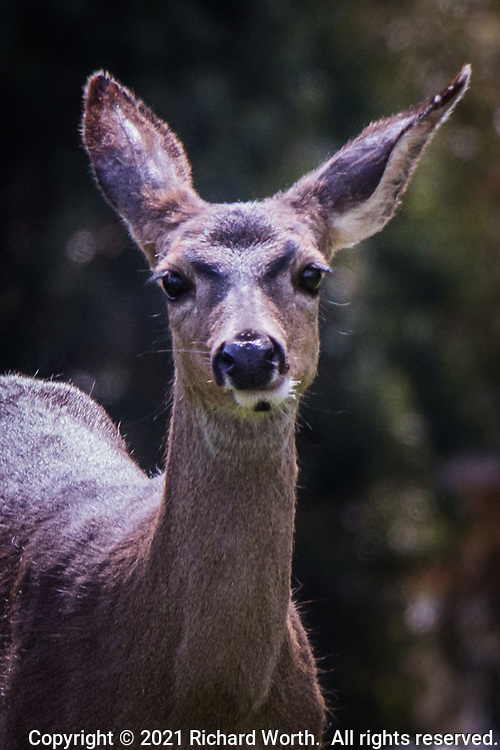 A black-tailed deer pauses to consider whether this photographer poses a threat.  It quickly returned to grazing, unperterbed, in an urban neighborhood on the first day of spring.