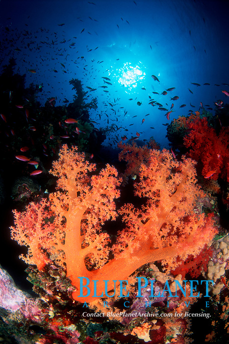 Yellow Softcoral, Dendronephtya sp., and Jewel Fairy Basslet, Pseudanthias squamipinnis, Anthias, Straights of Tiran, Egypt, Red Sea