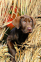 00975-015.17 Labrador Retriever: Chocolate Lab puppy is peering from blind.  Hunt, dog, new.