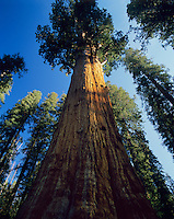 Giant Sequoia tree, Sequoia National Park, California.