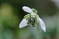 Galanthus Esther Merton
