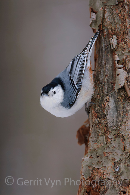 Adult male White-breasted Nuthatch (Sitta carolinensis). Tompkins County, New York. January.