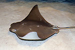 Cow nose ray swimming left