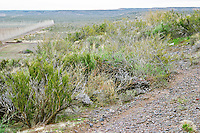 The natural vegetation on the Patagonian plain or desert a bit like the French Garrigue Bodega Del Fin Del Mundo - The End of the World - Neuquen, Patagonia, Argentina, South America