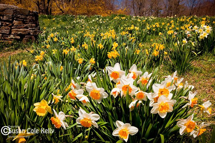Daffodils in Laurel Ridge Foundation, Litchfield, CT