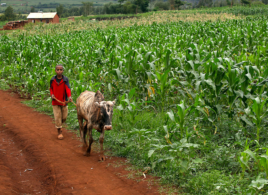 A boy walks a cow past maize fields in the Keratu Region of Tanzania.