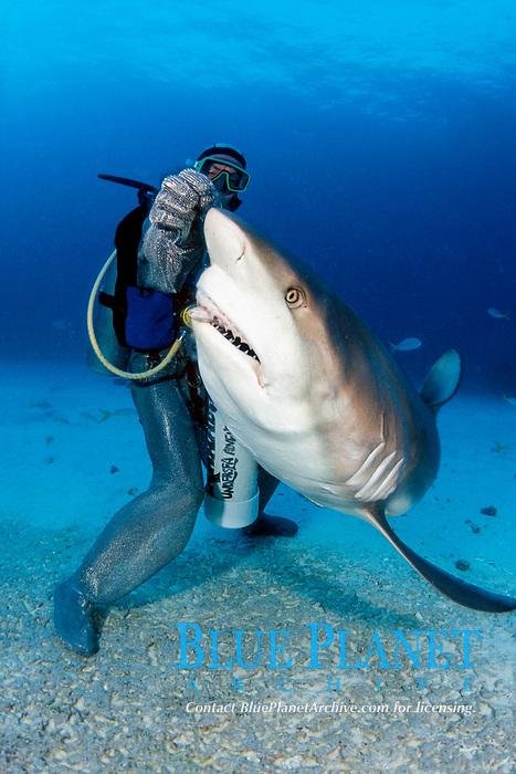 diver in a full chain mail suit hand feeds Caribbean reef shark, Carcharhinus perezii, Freeport, Bahamas, Caribbean Sea, Atlantic Ocean