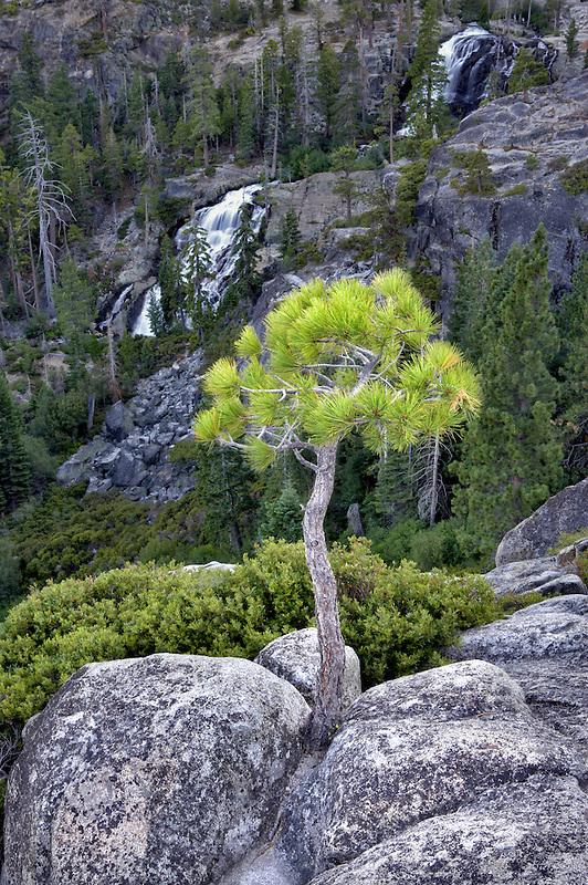 Eagle Falls and small ponderosa ptine tree. California