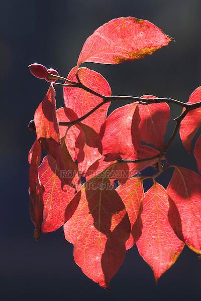 Strawberry-bush (Euonymus americanus), leaves, Raven Rock State Park, Lillington, North Carolina, USA