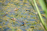 Columbia Ranch, Brazoria County, Damon, Texas; two baby American Alligators (Alligator mississippiensis) , roughly one year old, resting at the water's surface surrounded by green algae in the slough